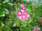 Winter primroses