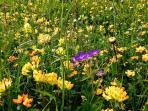 The floral meadows around Leukerbad (Spring)