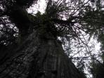 Gorgeous old growth forest