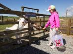 Feeding the goats at Cerrig y Barcud Holiday Cottages Anglesey