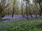 come and see the beautiful bluebell woods in spring