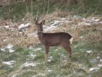 The doe who will hopefully produce a couple of fawns around June time