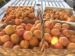 Apricots from our orchard
