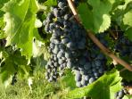 The neighbours' grapes.