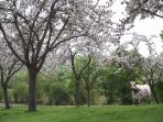 Orchards in May