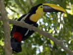 Ask us about wildlife tours and keep your eyes open for toucans around the community