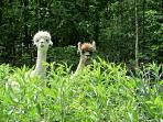Beethoven and Sebastian, the Owl's Nest resident alpacas