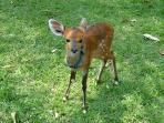 Bushbuck orphan, since rehabilitated and returned to the wild