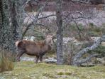 Red Deer can be found throughout Strathconon
