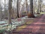 our snowdrops this Feb 2015