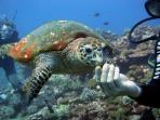 Scuba Diving in North Cyprus. Turtles Nest on the Beaches throughout the summer.