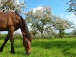 Le pays d'auge, le paradis des chevaux, ses haras, ses hippodromes.