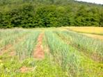 Summer garlic field.  It won't be long before we start our harvest!