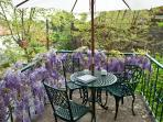 Wisteria flowering in Spring