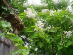 catalpas en fleurs
