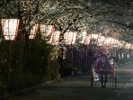 Near Miyagawa-Cho geisha district during the cherry blossom season (5 min away)