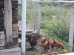 Nuestro Gallinero, para recoger los huevos y llevarlos a la mesa.
