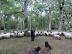 Latxa es nuestra oveja que pasta semilibre en nuestros montes