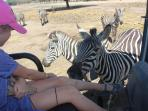 What beautiful zebras