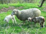 Francesina the sheep and her twins