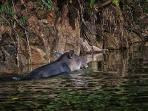 Tapir Sighting at Better In Belize