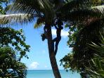 Cocoanut tree in a garden on Grand Anse Beach