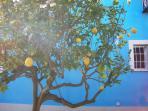 I limoni in giardino.