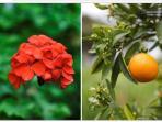 Geraniums and Oranges