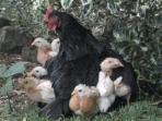 Mother hen loves to hatch chickens!