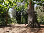 Visita al abuelo', el eucalipto más antiguo de Galicia en Souto da Retorta, Chavín-Viveiro