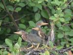 Green Heron Nestlings in the pond and island complex.