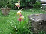 Iris in primavera