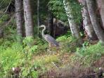 Great blue heron visiting in front of cottage