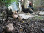 The children love to collect the eggs laid by the hens and the quail