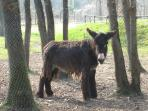 A hairy Poitou donkey at the local donkey sanctuary