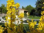 La piscine derrière les fortisias en fleurs