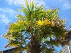 One of the many Cornish Palms we have on site.