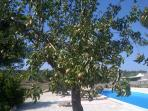 fruit trees in poolside