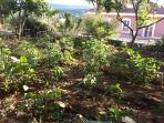 The garden with organic vegetables, orange and lemon trees