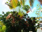 L'arbre du voyageur au coeur du jardin