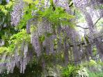 wisteria in blossom