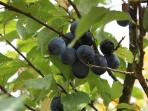 Damsons in the Lyth Valley