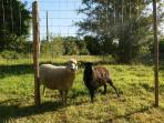 Our Breton ;Ouessant sheep - Ebony & Ivory