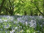 Blue bells In Rowans Wood