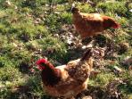 We rescue battery hens. Betty and Ethel will welcome you with fresh organic eggs.