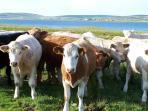 Lenahowe Cows