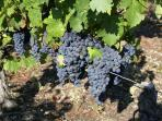 Vineyard in September - only a minutes walk - come for the Vendange and taste the juice fermenting!