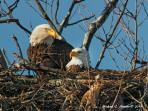 Nesting American Bald Eagles hunt the lake almost daily behind Eagle View Lake House