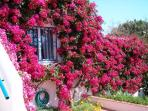 Bougainvillea in flower.