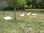 Our ducks in the Orchard